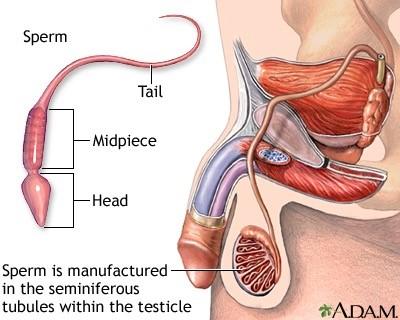 Εικόνα 1. το αναπαραγωγικό σύστημα του άνδρα, και σχηματική παράσταση του σπερματοζωαρίου.
